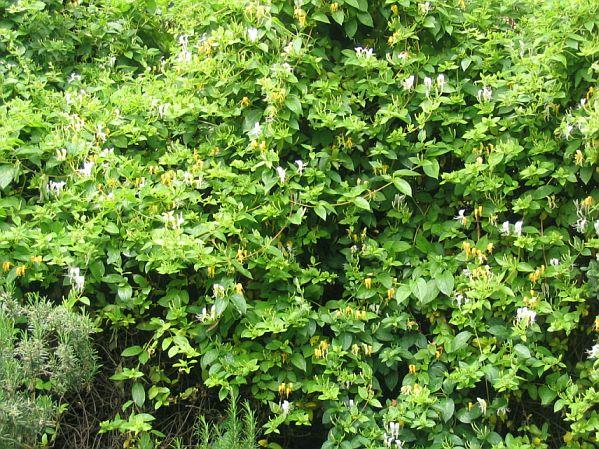 Alberi a rapida crescita alberi da giardino sempreverdi a for Alberi a crescita veloce
