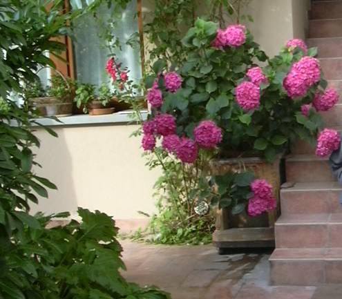 Piantare Ortensie In Vaso ~ Idee per il design della casa